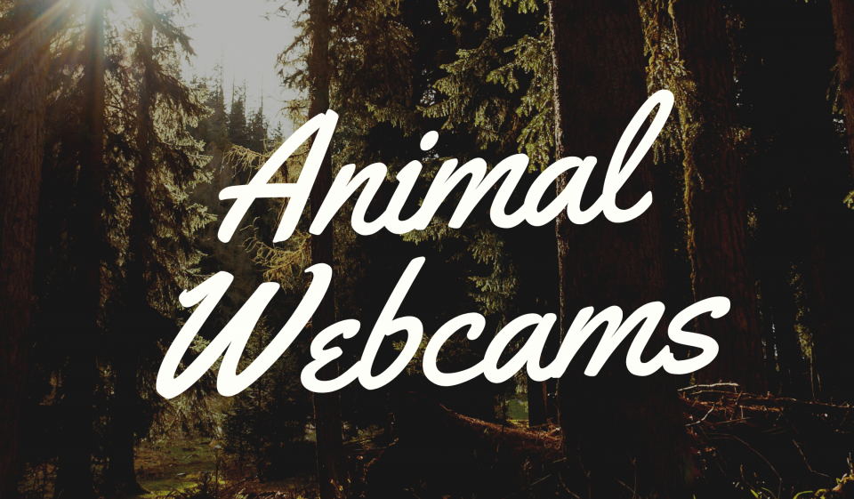 Animal Webcams